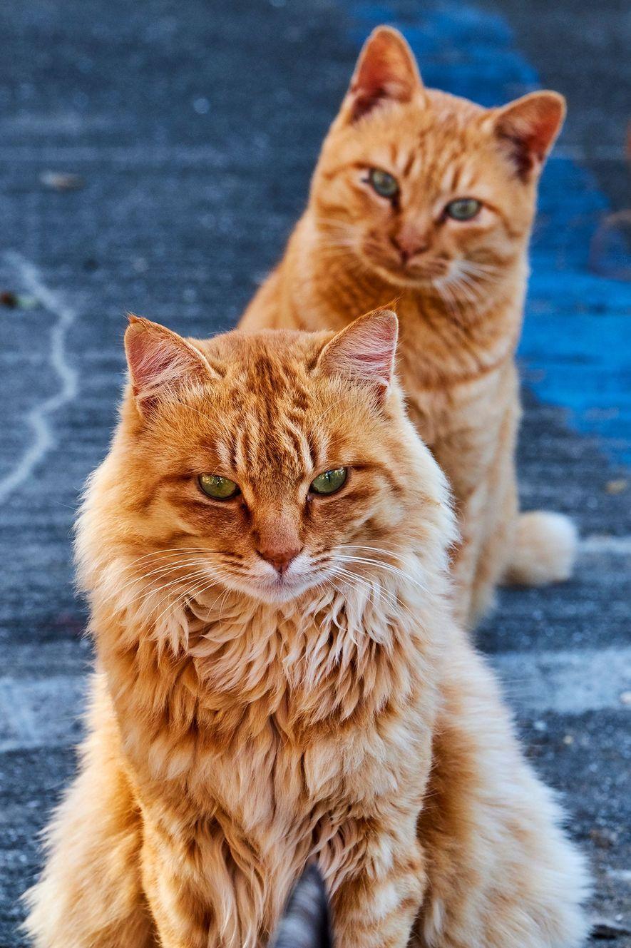 """Auf einer japanischen """"Katzeninsel"""" betrachtet eine orangefarbene Tabby interessiert einen Artgenossen."""