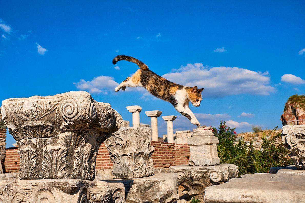 Die ehemalige römische Hafenstadt Ephesos bietet zahlreichen Straßenkatzen eine Heimat. Die Fotografen fingen diese Calico mitten …
