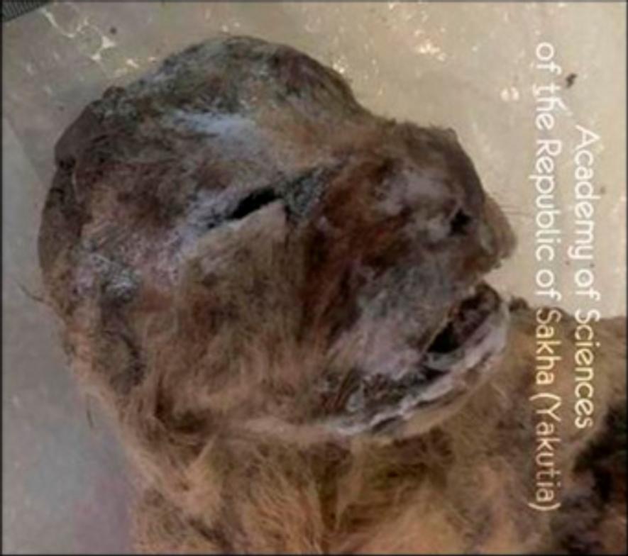 Gefrorene Höhlenlöwenjunge aus Steinzeit in Sibirien entdeckt