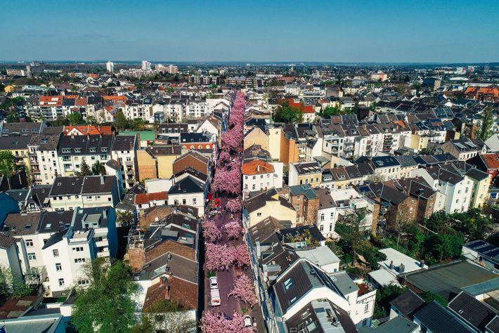 Kirschblüte in der Bonn Altstadt