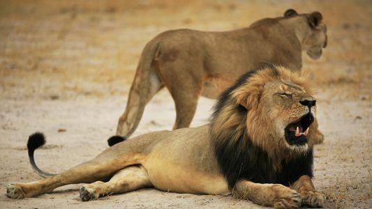 Zwei Jahre nach dem Tod des Löwen Cecil wurde in dessen Heimat ein Wilderer erschossen