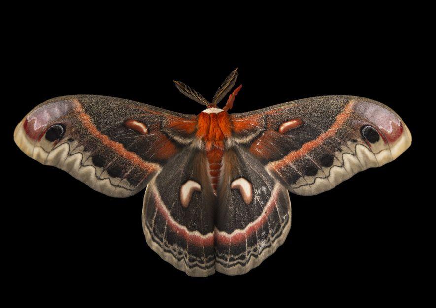 Ein Schmetterling der Art Hyalophora cecropia im Minnesota Zoo.