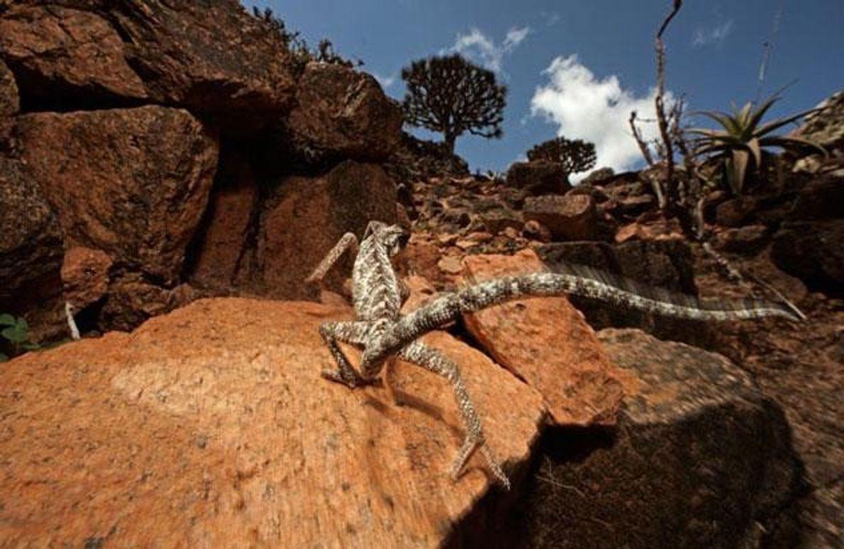 Chamaeleo monachus lebt nur auf Sokotra, wie auch 90 Prozent der übrigen Reptilienarten der Insel. Einheimische …