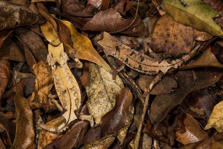 Ein männliches und ein weibliches Erdchamäleon der Art Brookesia decaryi. Der Normalzustand der Haut vieler Chamäleons ...