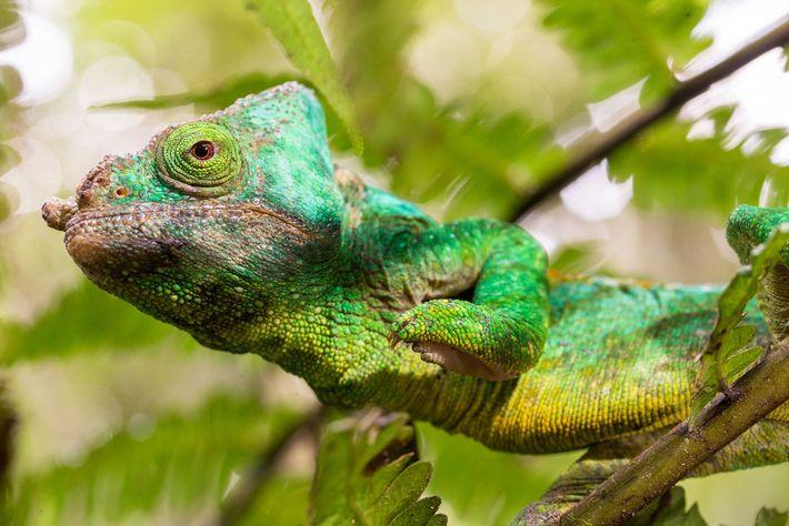 Ein Parsons Chamäleon auf Madagaskar. Die eindrucksvollsten Farbgebungen präsentieren die Tiere im Wettbewerb und bei der ...