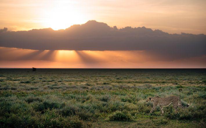 Ein Gepard läuft durch den Serengeti-Nationalpark.