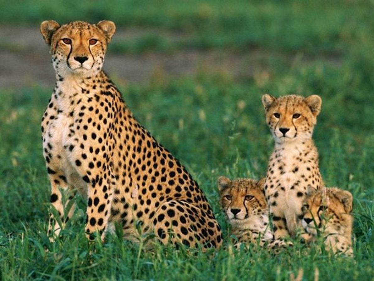 Gepardenmutter mit Jungen