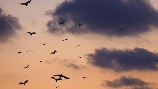 Genforschung: Sind Fledermaus-Superkräfte bald auf den Menschen übertragbar?