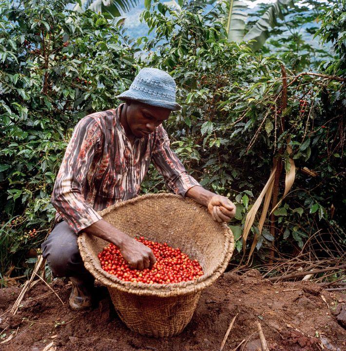 Die höhere Qualität der reiferen roten Kaffeekirschen erzielt den besten Marktpreis, deshalb werden Farmer dazu angehalten, ...