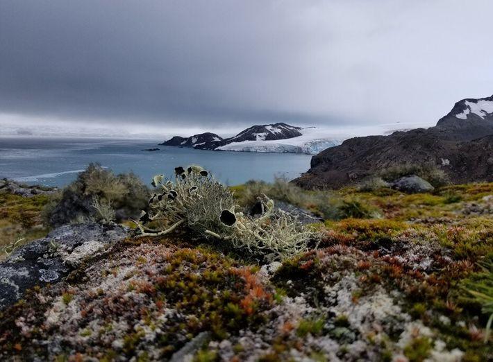 Die Vegetation auf dem antarktischen Kontinent besteht überwiegend aus Flechten und Moosen.