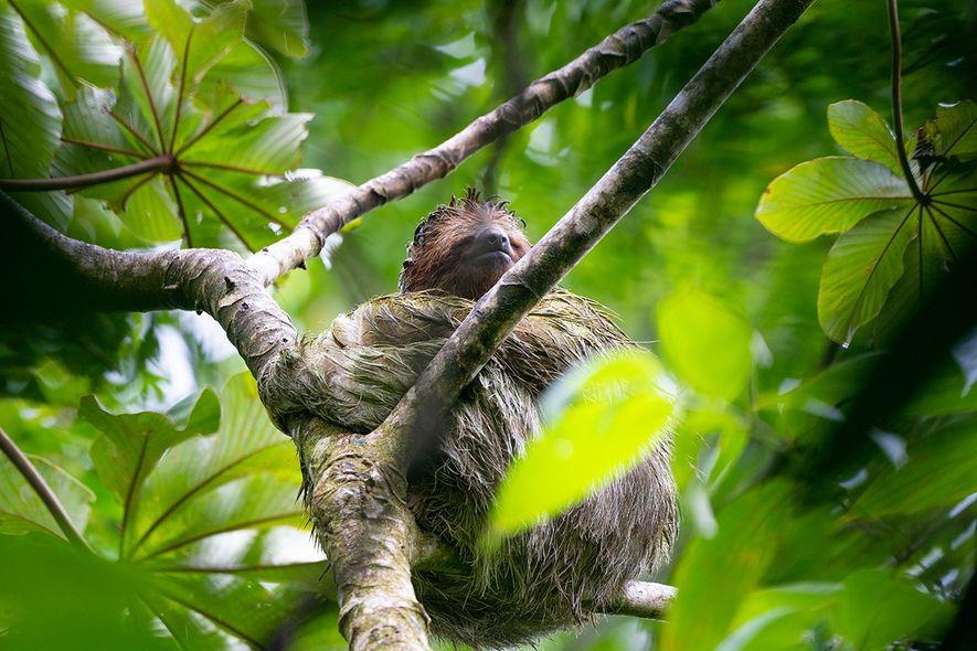 Ein Faultier in Costa Rica, dessen Fell vom Moos grün gefärbt ist. Um Faultiere zu entdecken, bedarf ...