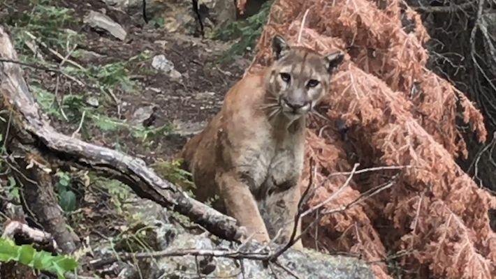 Wanderer treffen in Wildnis auf Puma