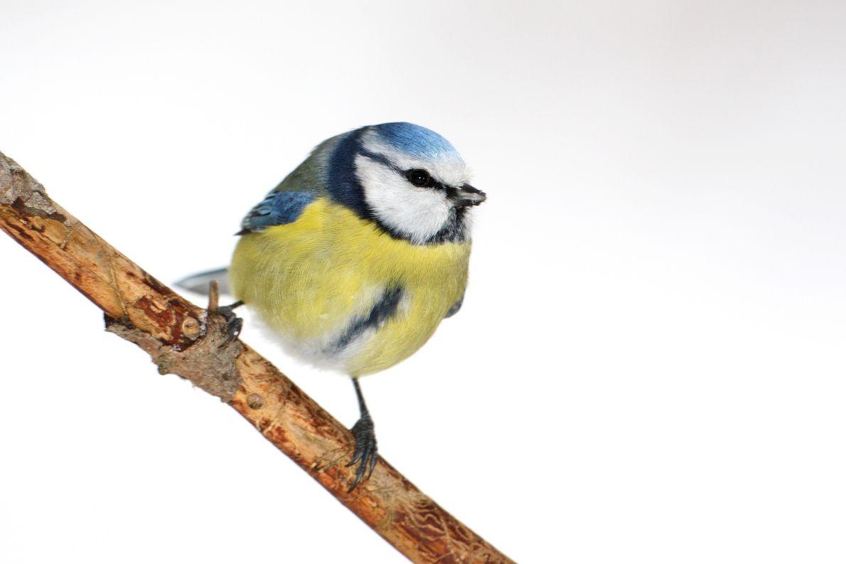 Die Blaumeise ist die bunteste heimische Meise und der einzige blau-gelbe Vogel Europas. Ihr fehlt auf ...