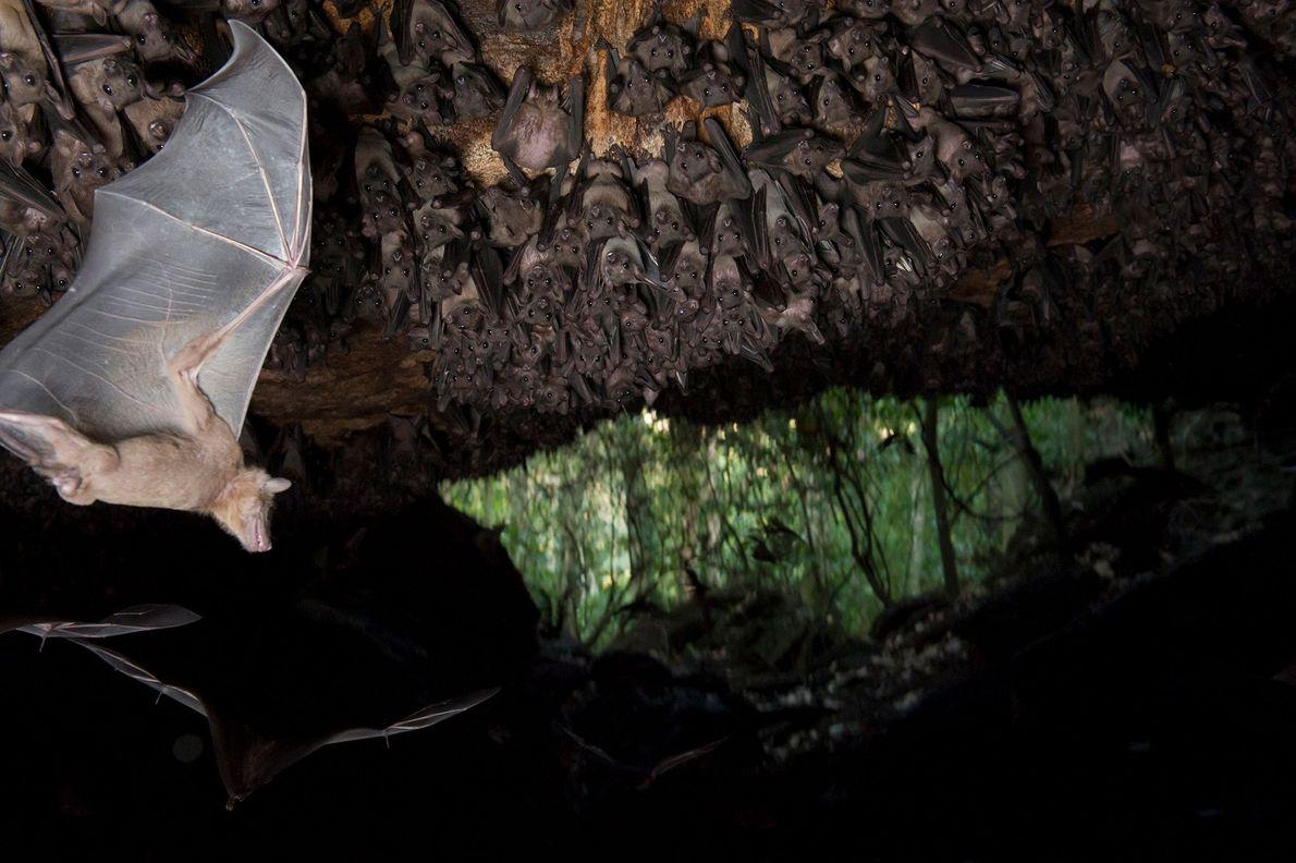 Nilflughunde hängen von der Decke einer Höhle im Maramagambo-Wald von Uganda. Man vermutet, dass die Flughunde ...