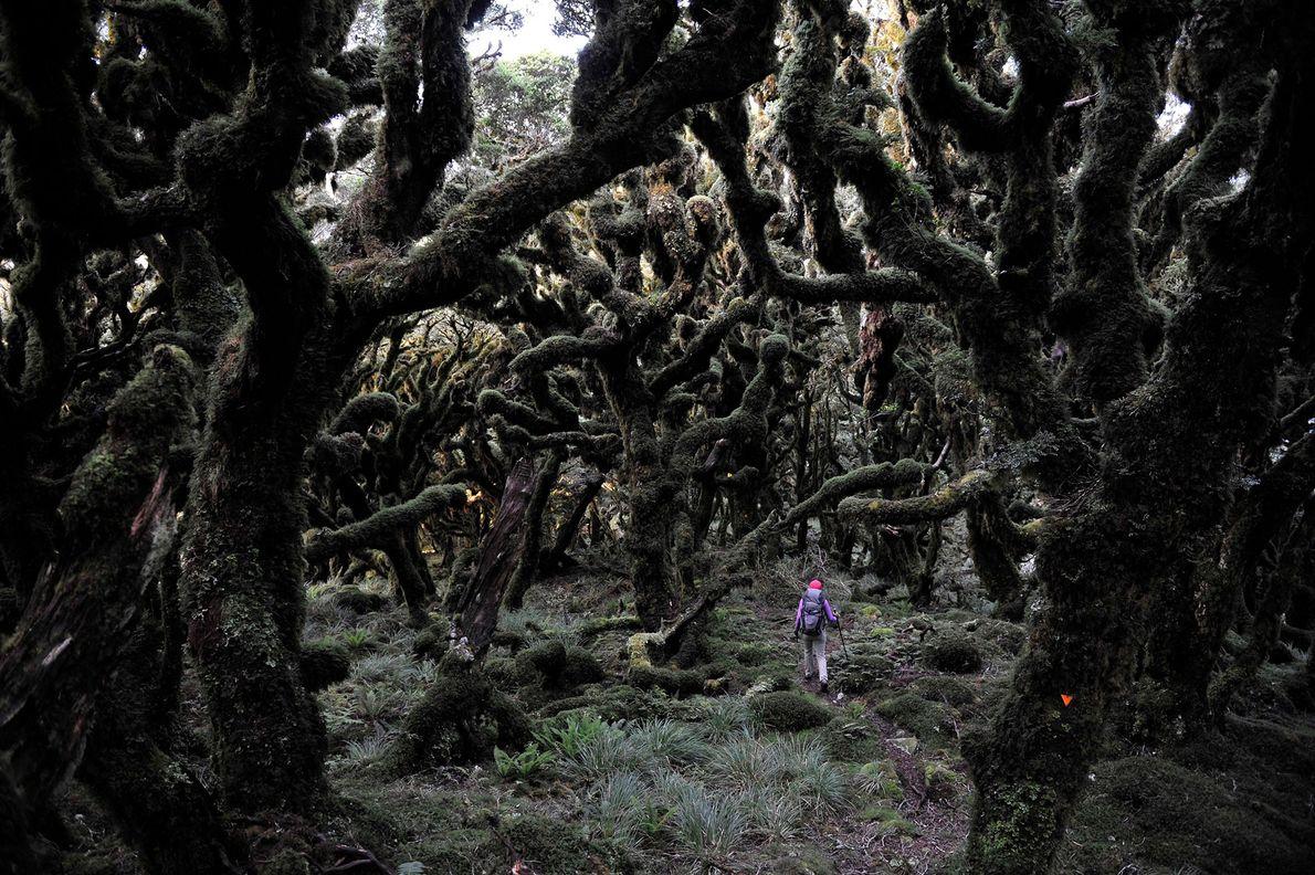 Eine Wanderin läuft durch einen dunklen Wald an der Tararua Ridge in Neuseeland.