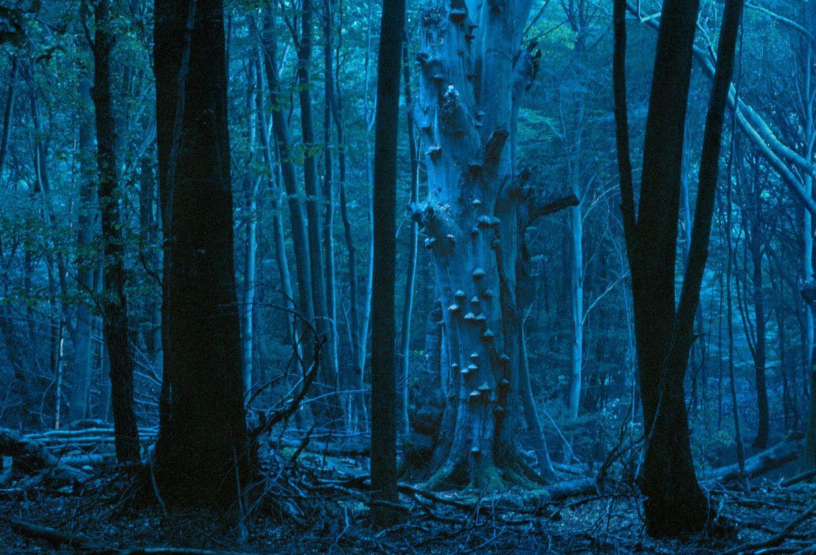 Ein blaues Licht taucht den Reinhardswald in eine unheimliche Atmosphäre. Das deutsche Mittelgebirge soll viele der ...