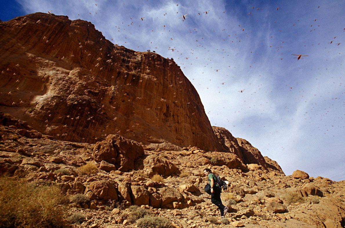 Heuschrecken schwärmen über einen Wanderer an der Todra-Schlucht in Marokko hinweg.