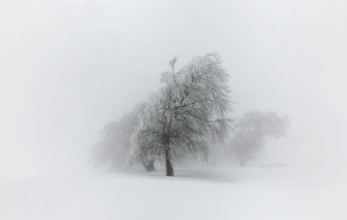 Die Buchen auf dem Berg Schauinsland im Schwarzwald wurden durch den ständigen Wind geformt und biegen ...