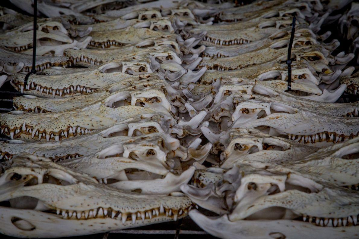 Schädel von Leistenkrokodilen