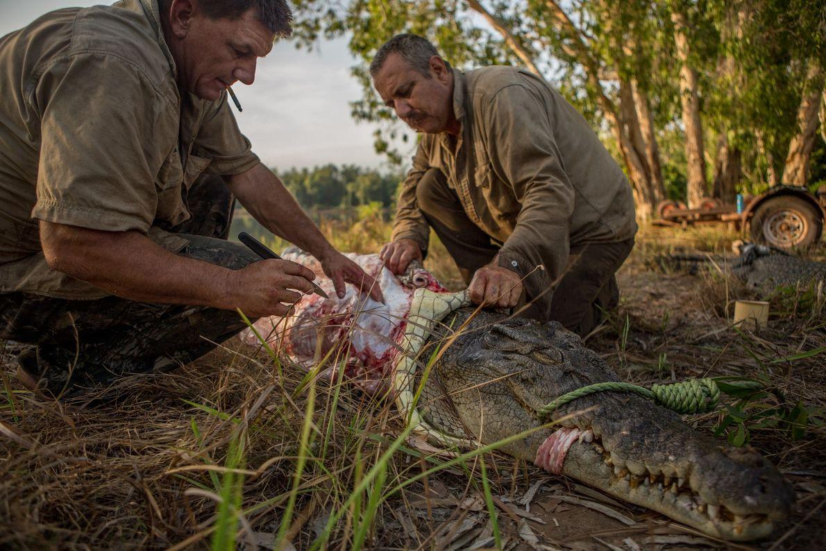 Krokodil wird gehäutet
