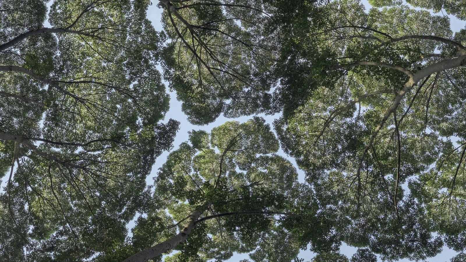 Kronenscheu bei Kampferbäumen