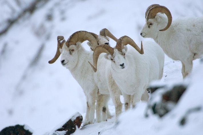 Dall-Schafe