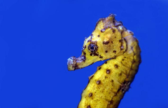 Geschwungene Kopfform des Seepferdchens
