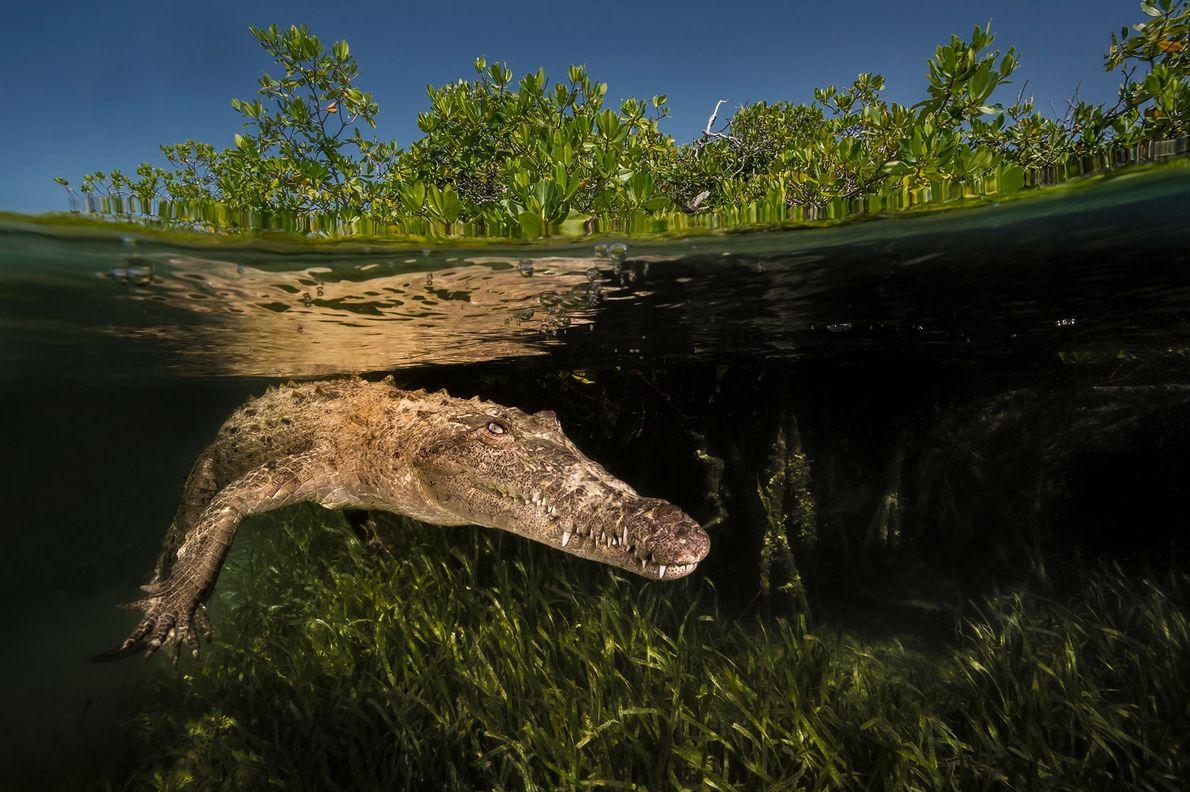 Ein Spitzkrokodil schwimmt durch einen Mangrovenkanal im kubanischen Nationalpark Jardines de la Reina. Das Meeresschutzgebiet ist ...