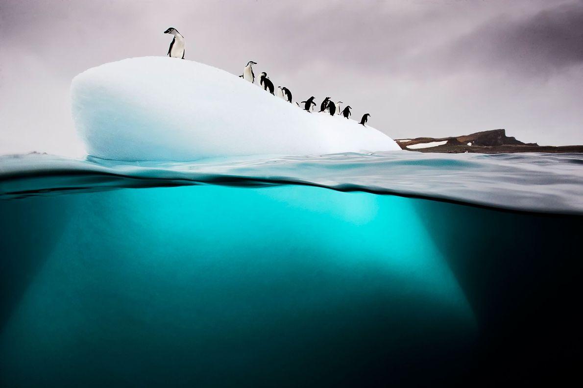Eine Gruppe von Zügel- und Eselspinguinen ruht sich auf einer kleinen Eisscholle nahe Danco Island in ...