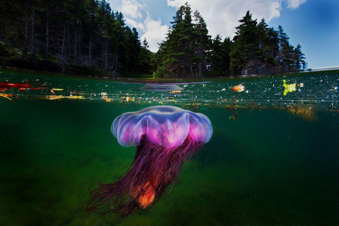Ein Koniferenwald erhebt sich über einer Gelben Haarqualle, die in der flachen Bucht des Bonne Bay ...