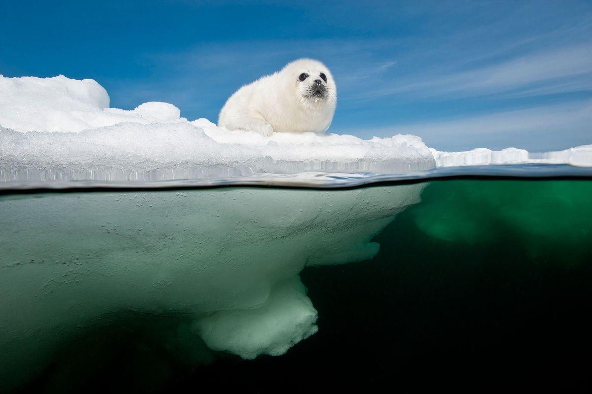 Eine junge Sattelrobbe wartet auf dem Meereis des Sankt-Lorenz-Golfs in Kanada darauf, dass ihre Mutter zurückkehrt. ...
