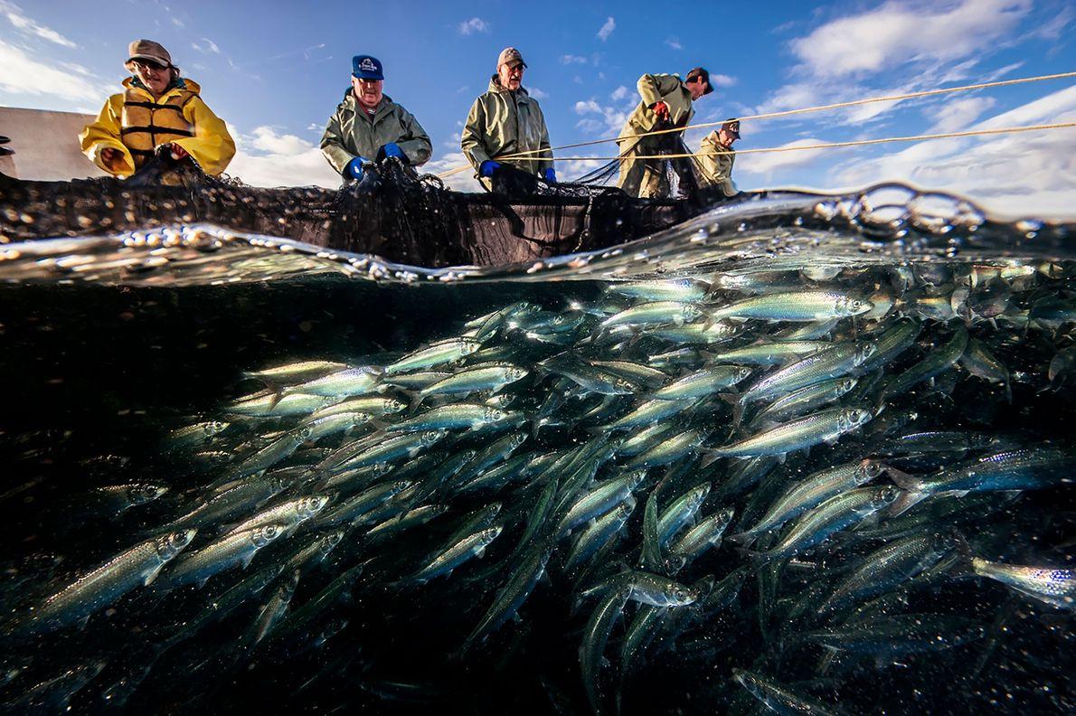 Eine Fischermannschaft arbeitet zusammen, um eine Falle voller Heringe aus dem Wasser zu ziehen. Ihr Schiff ...