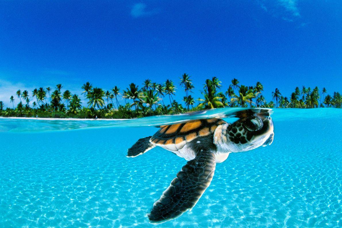Eine frisch geschlüpfte Grüne Meeresschildkröte schwimmt vor der Küste von Nengonengo in Französisch-Polynesien gen offenes Meer ...