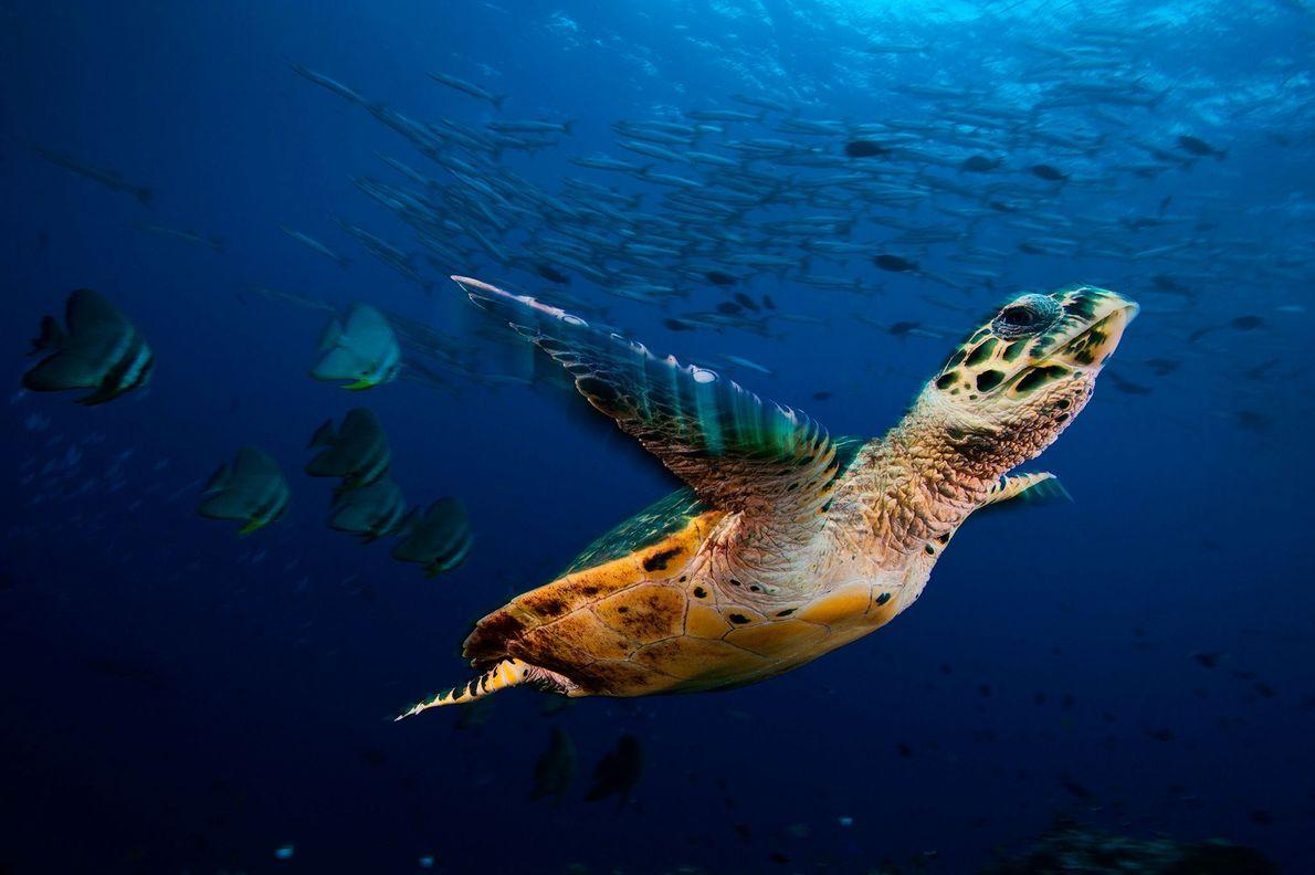 Eine Echte Karettschildkröte gleitet mit Fledermausfischen und Barrakudas durch die Kimbe Bay in Papua-Neuguinea. Zusammen mit ...
