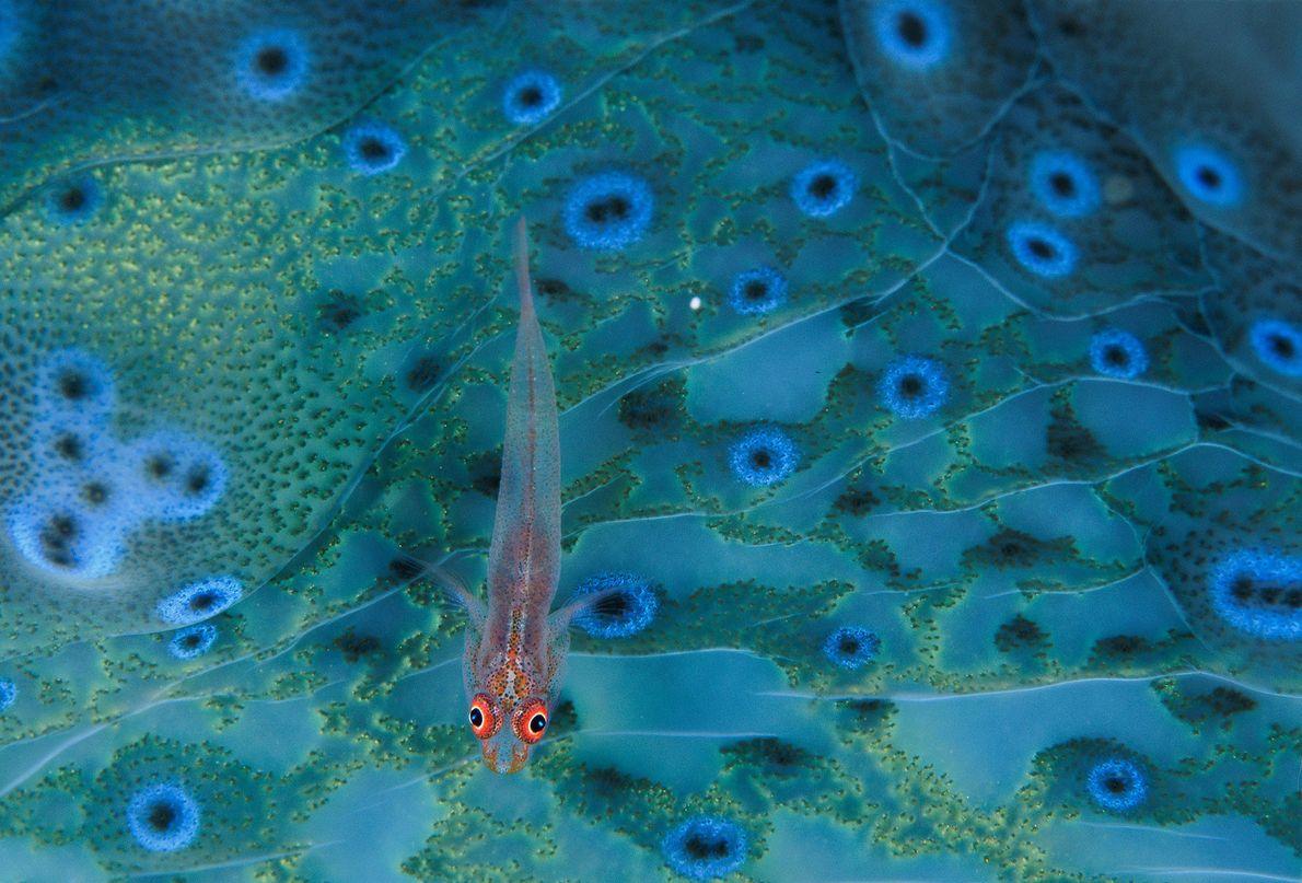 Eine Grundel sucht auf dem farbenfrohen Weichgewebe einer Riesenmuschel nach essbaren Ablagerungen. Riesenmuscheln können über 100 ...