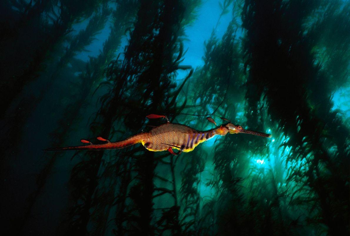 Ein Seedrache gleitet in den warmen Gewässern Tasmaniens durch einen Seetangwald. Diese fast mystisch wirkenden Meeresbewohner ...