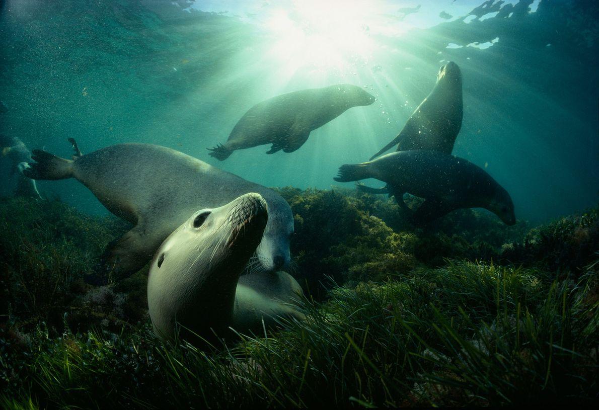 Australische Seelöwen spielen im Seegras vor Hopkins Island im Spencer-Golf von South Australia. Diese spezielle Robbenart ...