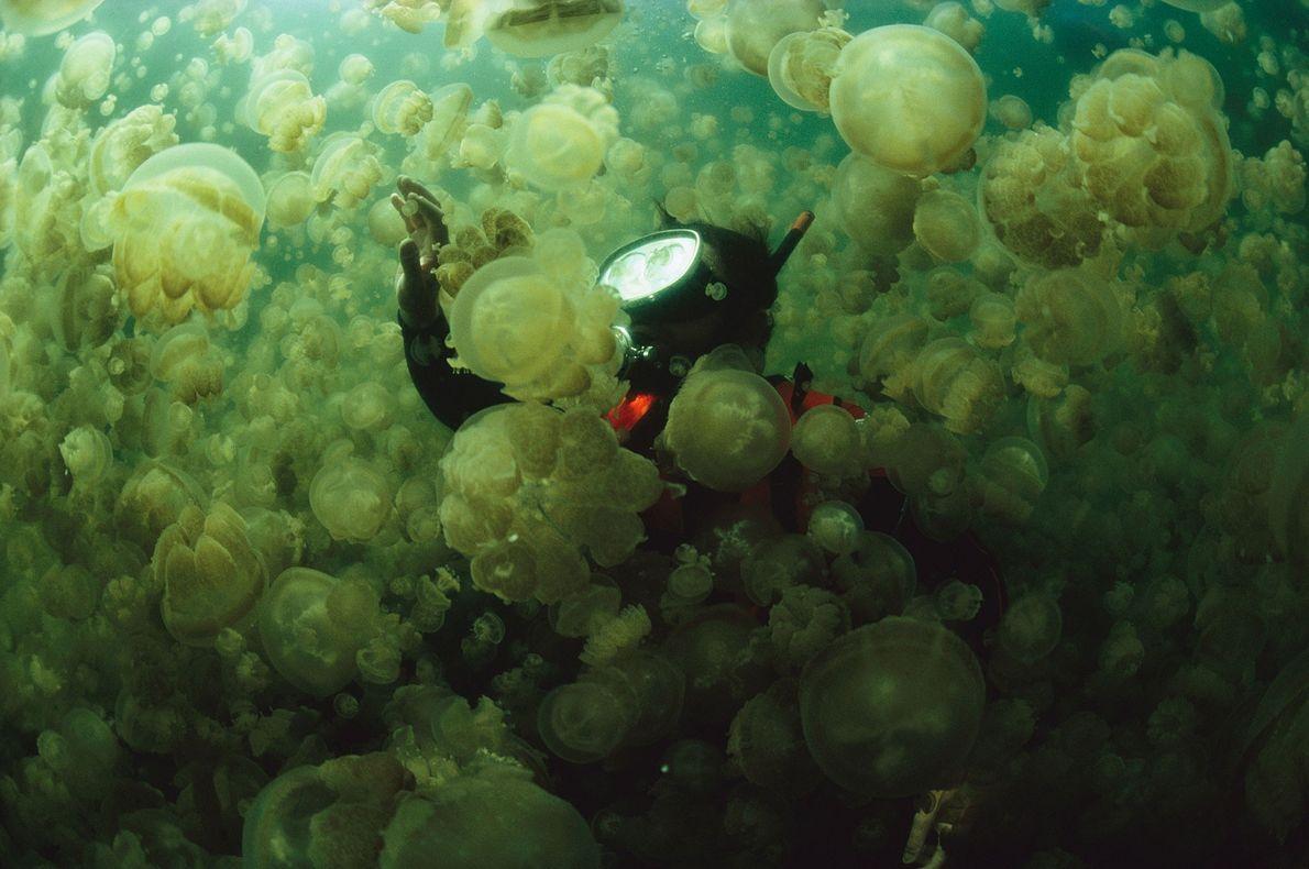 Der Meeresbiologe William Hammer taucht in Palau (Mikronesien) durch eine dichte Wolke aus Quallen der Gattung ...