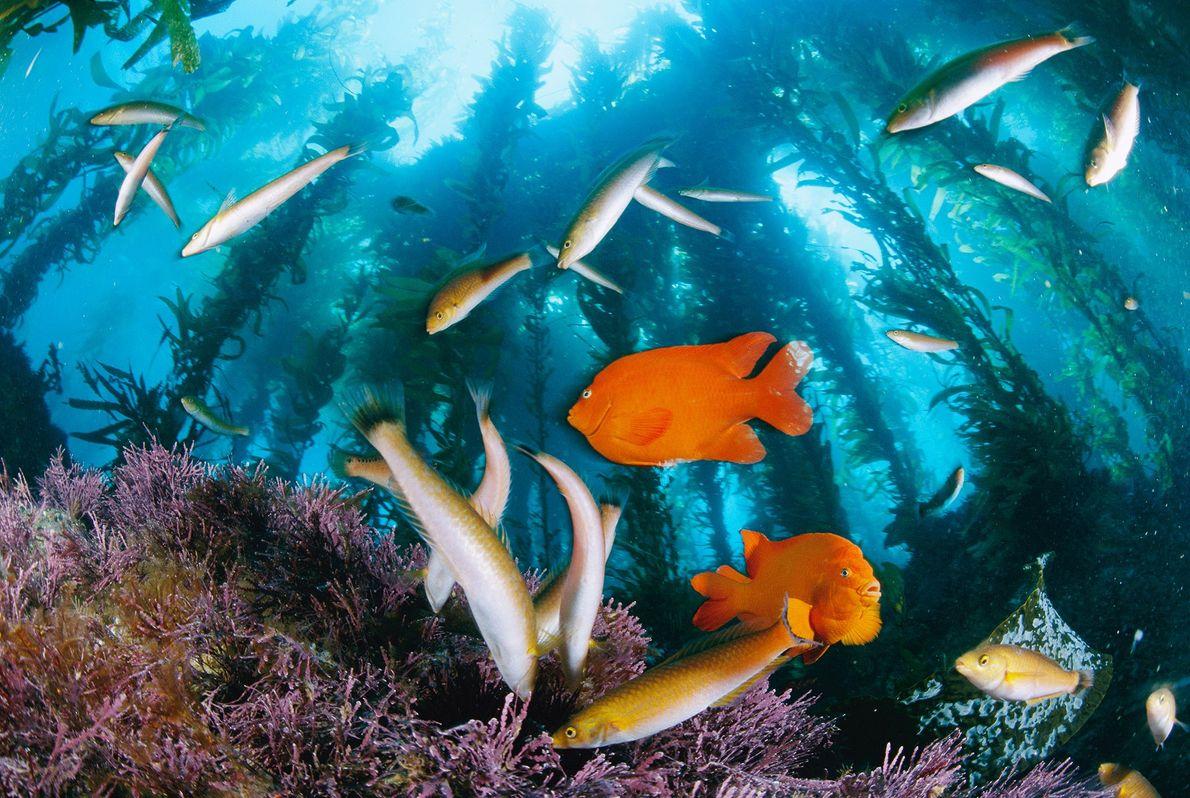 Leuchtend orangefarbene Garibaldifische und schlanke Barsche der Art Oxyjulis californica suchen in den Seetangwäldern von Anacapa ...