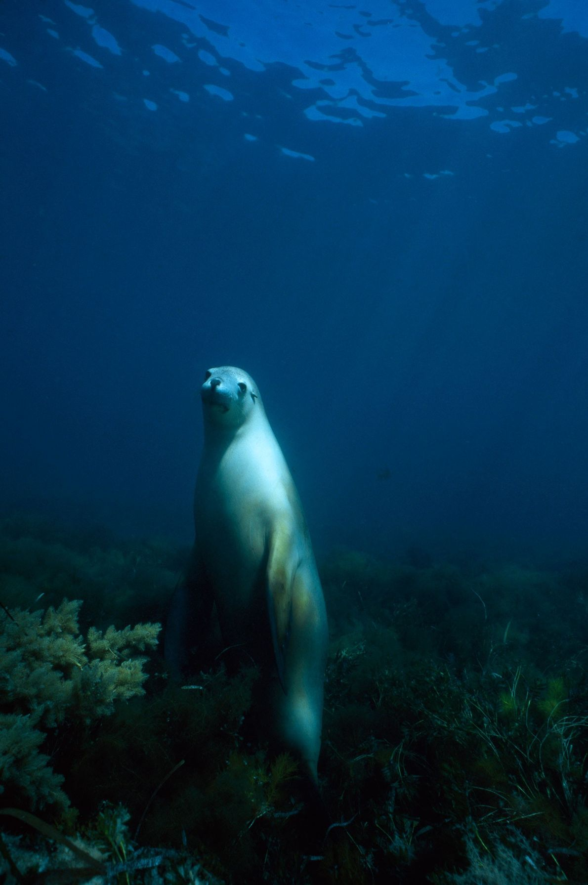 Ein Australisches Seelöwenweibchen bei Hopkins Island im Spencer-Golf blickt durch das Wasser hindurch zum Fotografen. Die ...