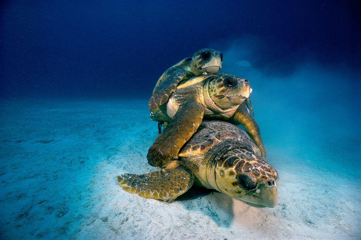 Drei Unechte Karettschildkröten paaren sich auf dem Meeresboden bei Key Largo im Florida Keys National Marine ...