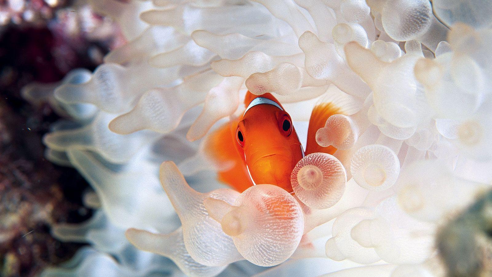 Ein Samtanemonenfisch lugt in der Kimbe Bay in Papua-Neuguinea aus seinem schützenden Versteck hervor. Die leuchtend ...