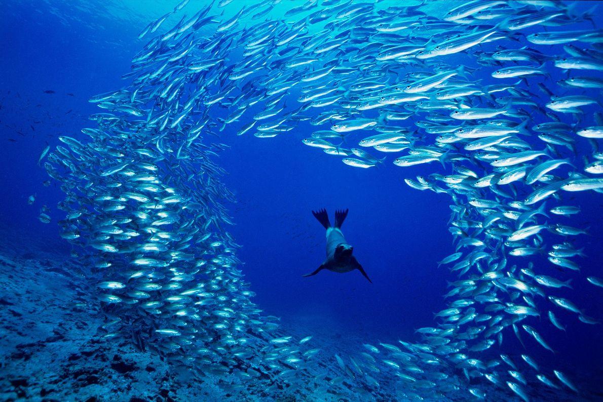 Ein ausgehungerter junger Galápagos-Seelöwe schwimmt bei Cousins Rock auf den Galapagosinseln durch einen Schwarm Goldstriemen. Die ...