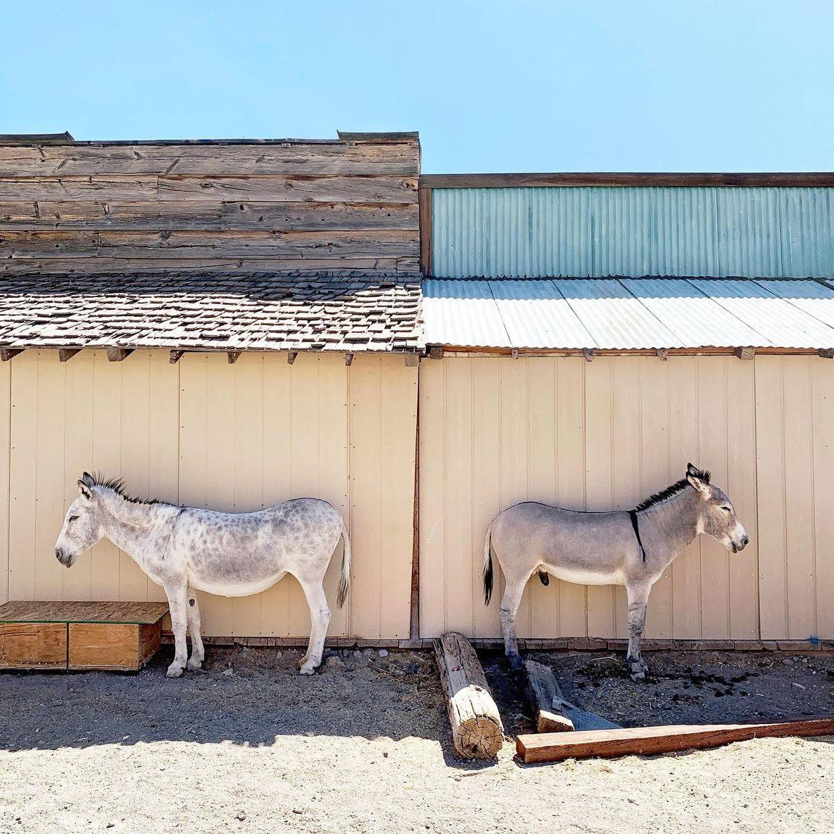 Zwei Esel in Oatman an der Route 66