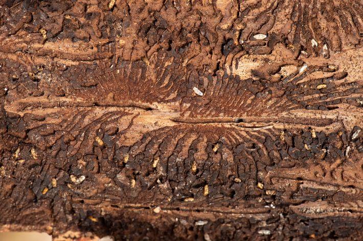 Ein unzureichender Feuchtigkeitsgehalt des Bodens macht Deutschlands Bäume anfällig für Borkenkäferbefall wie den des Fichtenholzstechers. Bäume ...