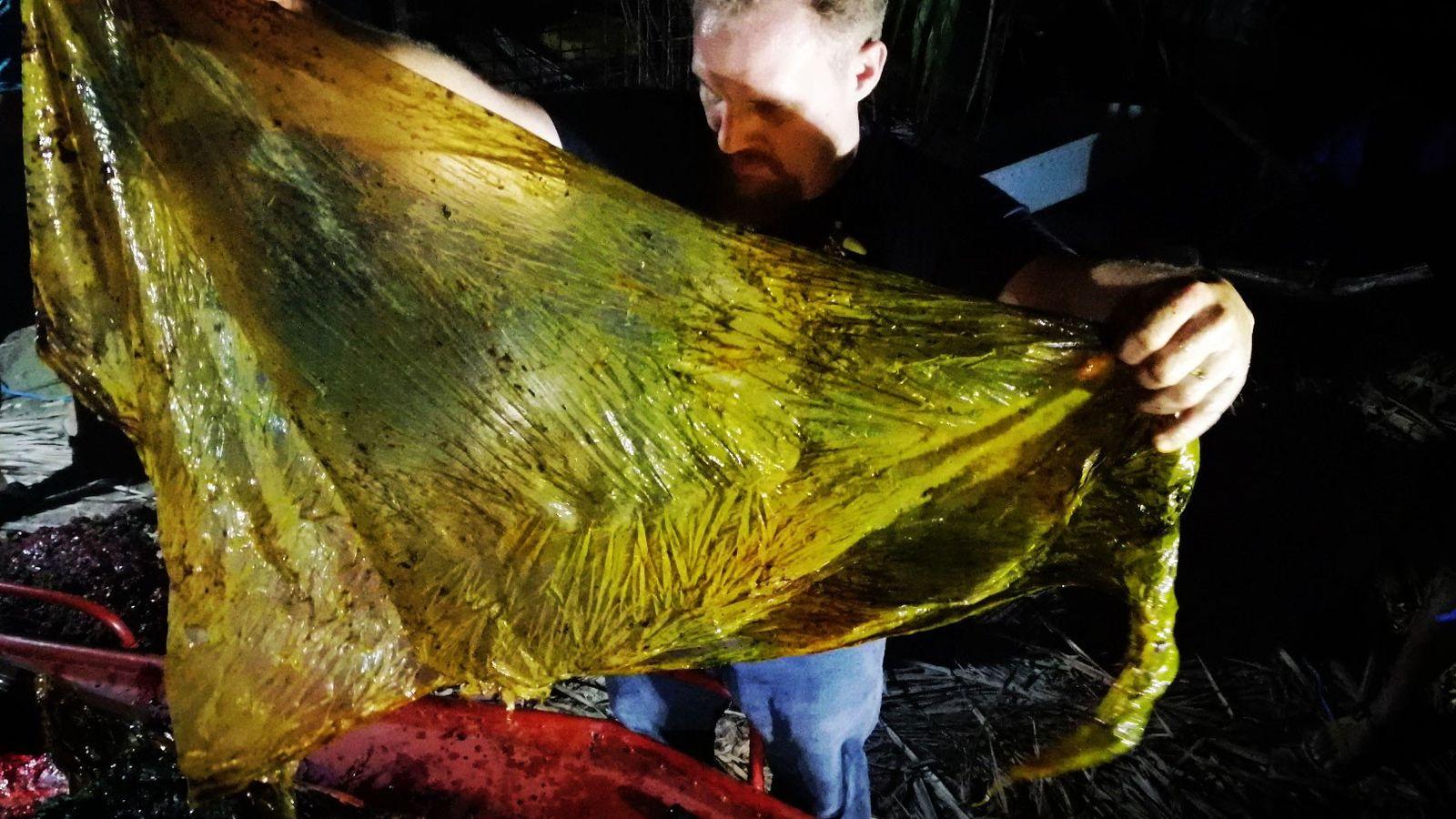 Forscher holten 40 Kilogramm Plastik aus dem Magen eines jungen Curvier-Schnabelwals, der am 16. März im ...