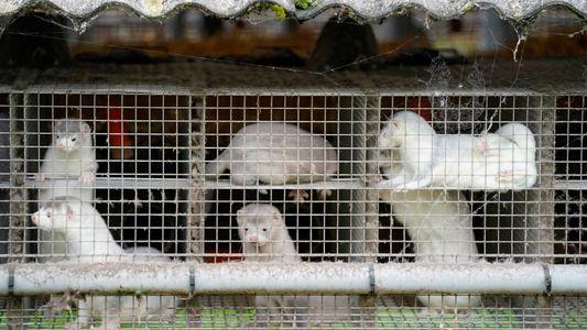 Dänemark: Getötete Nerze tauchen wieder aus Massengrab auf