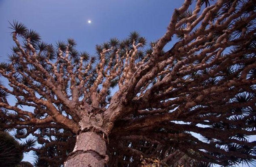 Der Drachenbaum, Sokotras Wahrzeichen, nutzt seine nach oben gerichteten Äste, um Feuchtigkeit aus dem Nebel zu ...