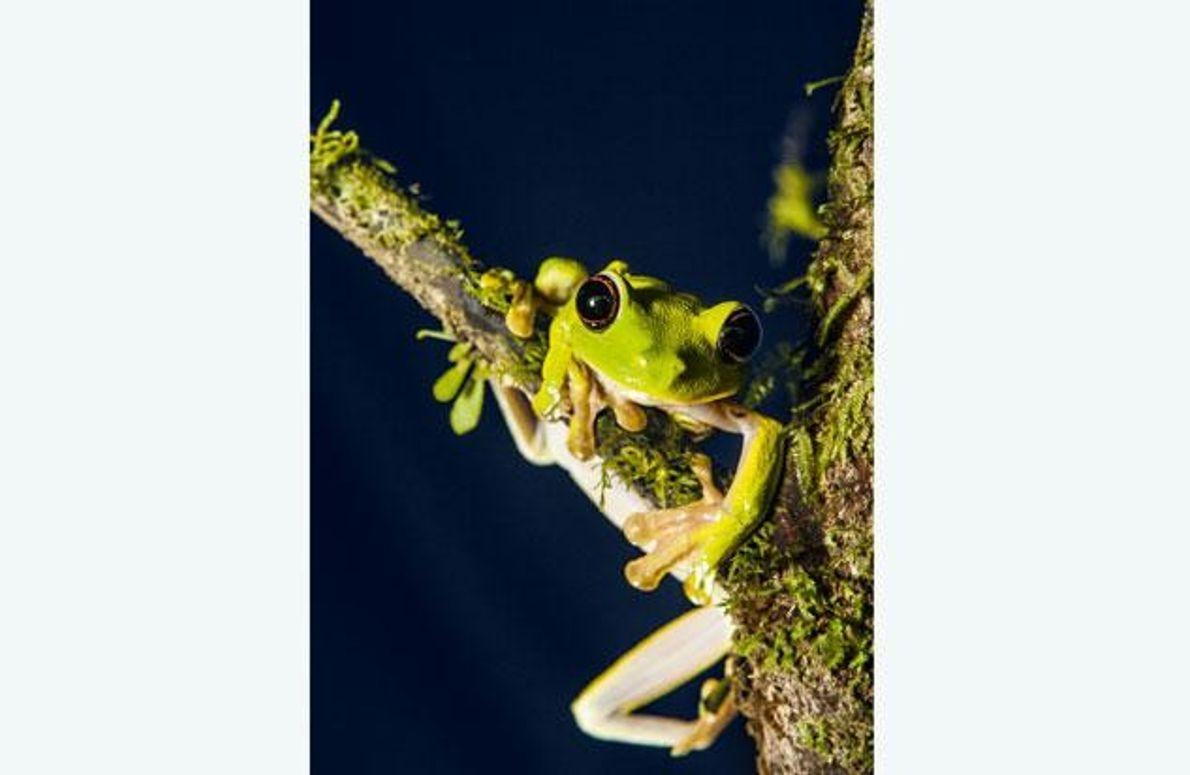 Der Grüne Baumfrosch