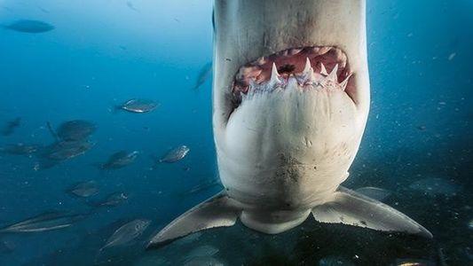 Der Weiße Hai: Gefahr oder gefährdet?
